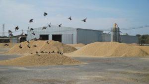 В Дагестане собран рекордный урожай риса