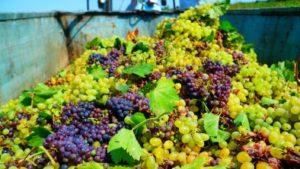 В Дагестане собран и переработан рекордный за 30 лет объем винограда